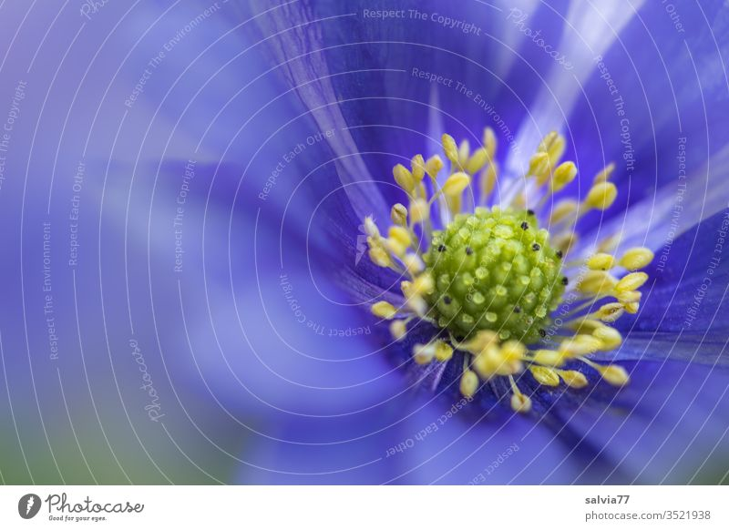 Close up of a blue anemone flower Spring balkan anemone Flower Blossom Blossoming Close-up Macro (Extreme close-up) Plant Nature Garden Poppy anenome blurriness