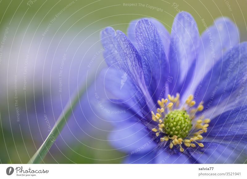 Balkan anemone, blue anemone blossom Nature Plant bleed flowers Anemone Blue Back-light Fragrance Deserted spring Colour photo Close-up Garden Blur