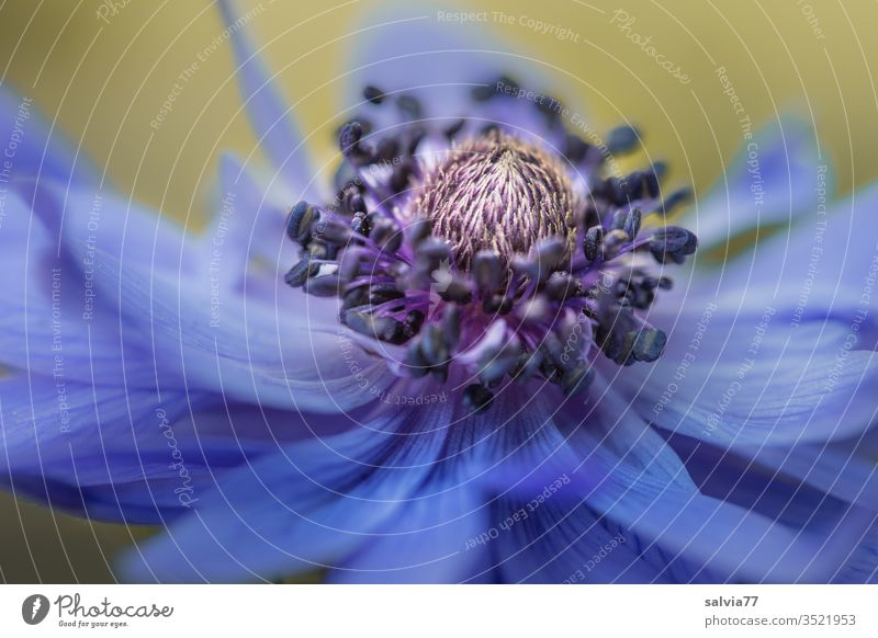 blue beauty | anemone blossom Nature Colour photo flowers bleed Blossoming Macro (Extreme close-up) spring Shallow depth of field Detail Plant Copy Space bottom