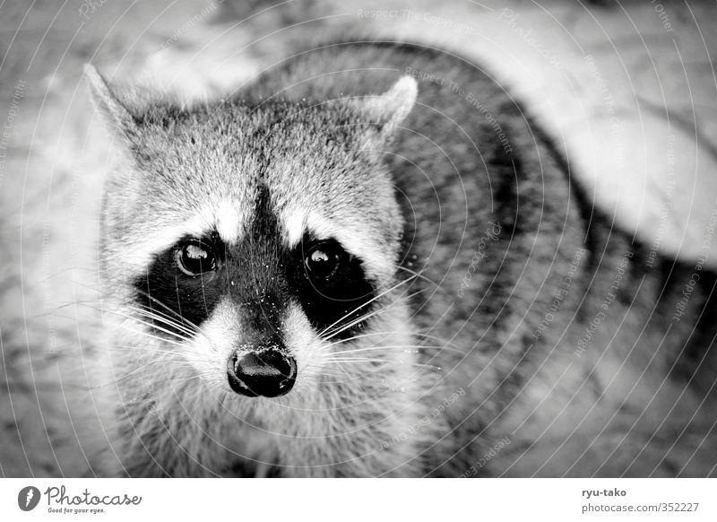 mapache Animal Wild animal Raccoon 1 Observe Brash Curiosity Cute Trust Beautiful Soft Black & white photo Exterior shot Deserted Copy Space right