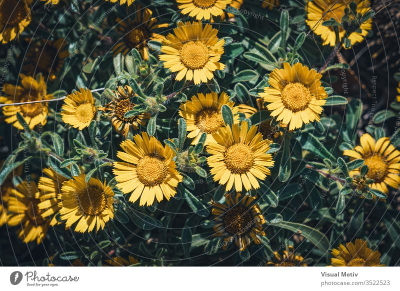 Yellow flowers of Asteriscus maritimus commonly known as Compact gold coin or Mediterranean beach daisy bloom blossom botanic botanical botany flora floral