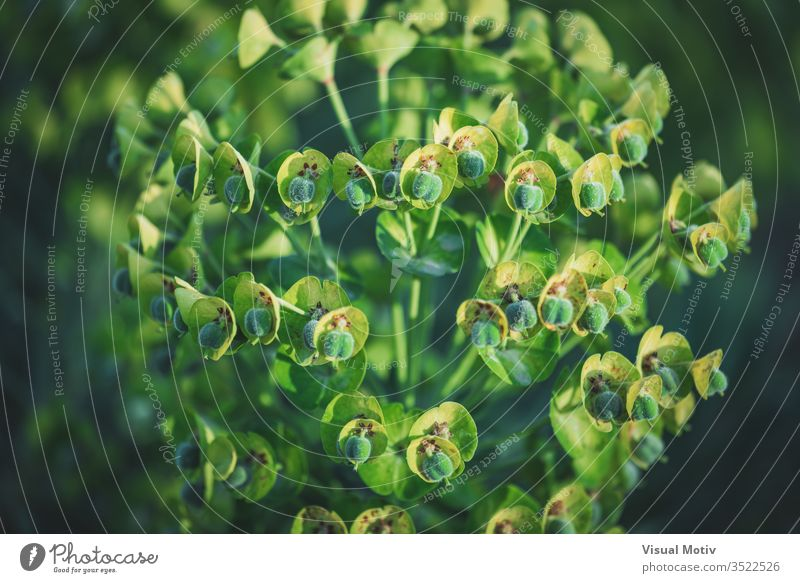 Green flowers of Euphorbia Characias Wulfenii commonly known as Mediterranean Spurge bloom blossom botanic botanical botany field flora floral flowery bud buds