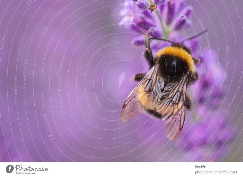 Hummel loves lavender Bumble bee Lavender purple flowering lavender lavender scent lavender blossom Lavender flower Violet Fragrance Summer feeling Bee