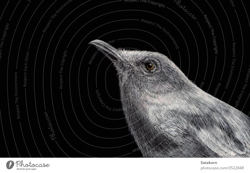 Oriental magpie robin Painted with white ink and crayon on black paper illustration bird hand drawn nature background isolated art small drawing graphic animal