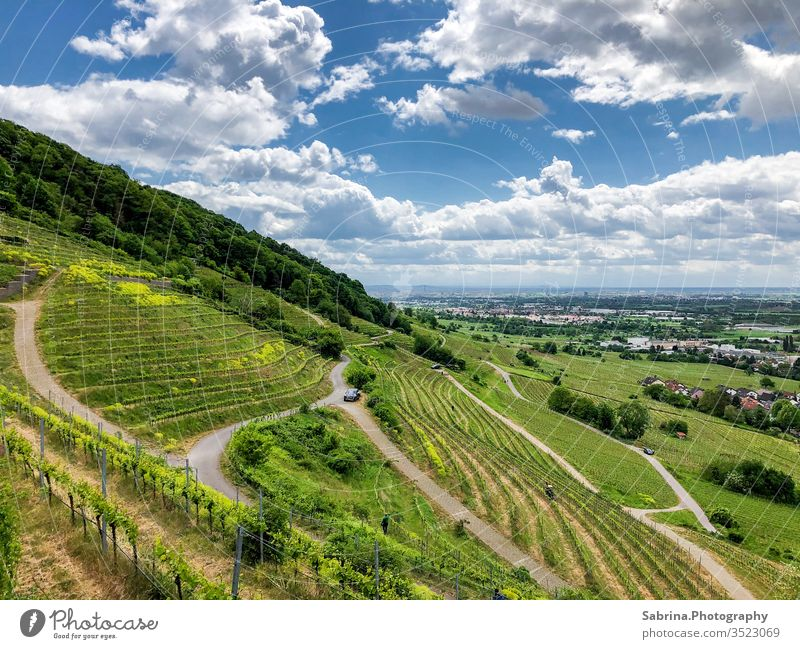 Paths through the vineyard on a sunny summer day with clouds Vineyard Landscape Baden-Wuerttemberg Schriesheim Grape harvest Colour photo Wine growing