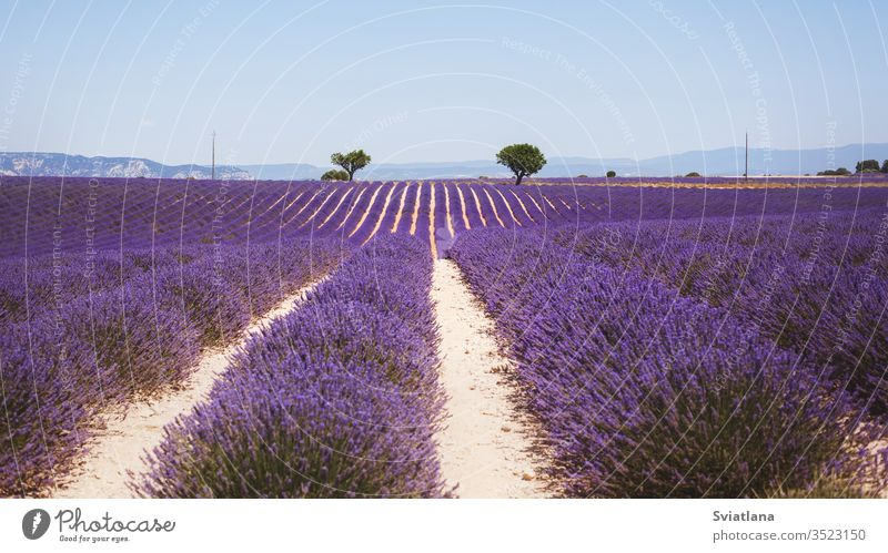 Beautiful fragrant lavender field in bright light Valensole, Provence, France flower tree summer nature a heart france valensole purple provence aroma french