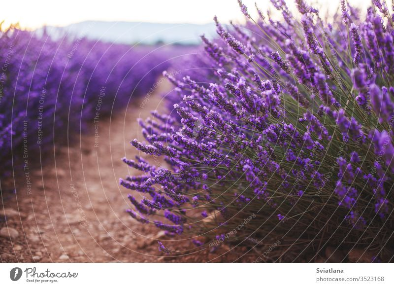 Fragrant lavender flowers at beautiful sunrise, Valensole, Provence, France, close up tree summer nature field france valensole purple provence aroma french