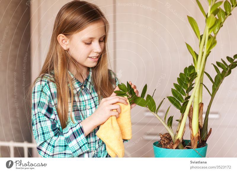 The girl wipes the dust from the green leaves of the houseplant. Care for indoor plants. spray water care beautiful child window bottle gardening nature sprayer
