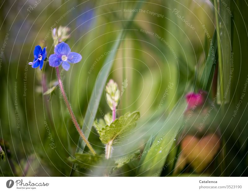 A small blue flower blooms in the high grass of a meadow Nature Plant flowers bleed Veronica Blossoming Grass Growth Summer Meadow grasslands Happiness Ease