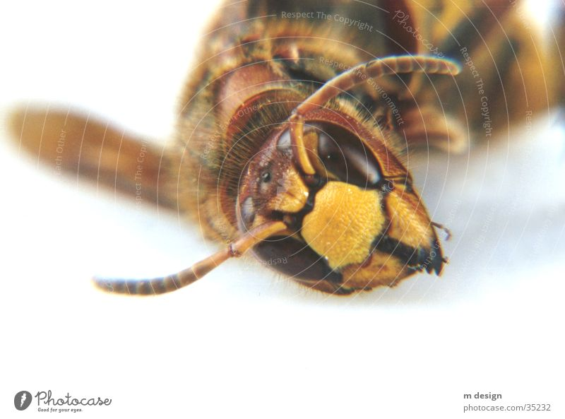 Fascinating animal world Hornet Feeler Animal Bee Monster Nature Eyes Macro (Extreme close-up) Close-up Detail