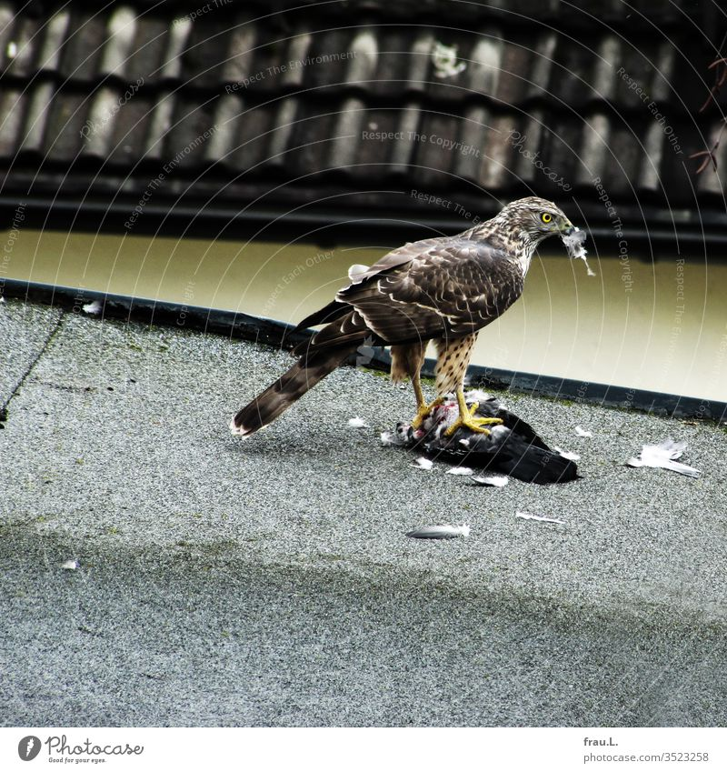 The bird of prey had beaten the pigeon on the roof, now it plucks the victim for its brood. Bird of prey Feather Pigeon Hawk Sparrowhawk Kill Beat Pluck Town
