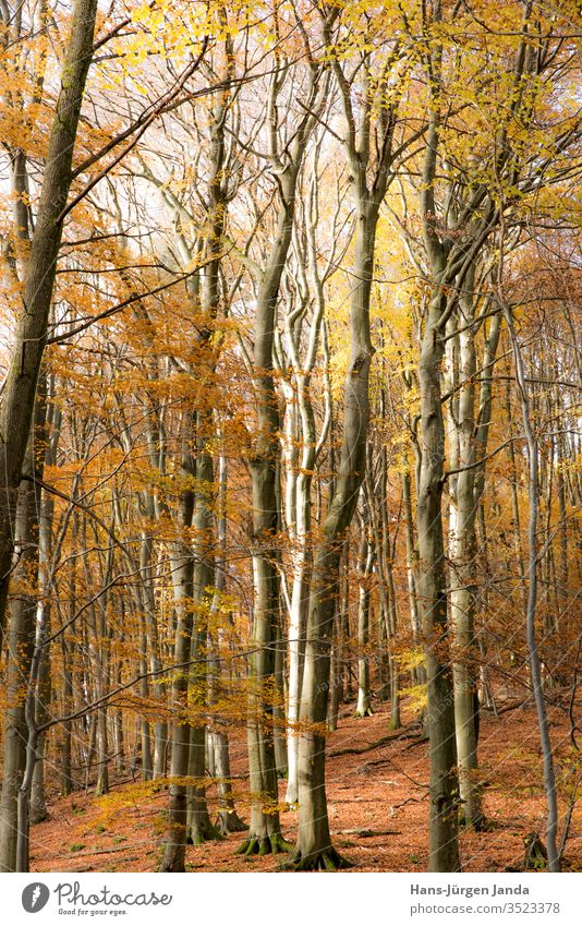 Autumnal beech forest Forest tree beeches Brown Tree trunk Branch Europe mountains Nature Plant ecologic Calm Contemplative path Bright foliage voyage view