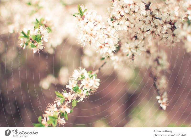 Light spring flowers soft and delicate Spring flower Spring fever Blossoming natural Deserted Exterior shot bleed already green Plant Nature Day Colour photo