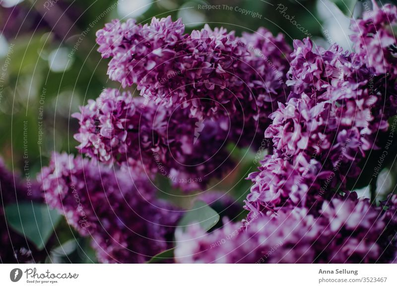 Lilac in its splendour lilac lilac blossom Colour photo Nature bleed Plant Close-up spring flowers Violet Deserted Day Garden Blossoming natural Blur