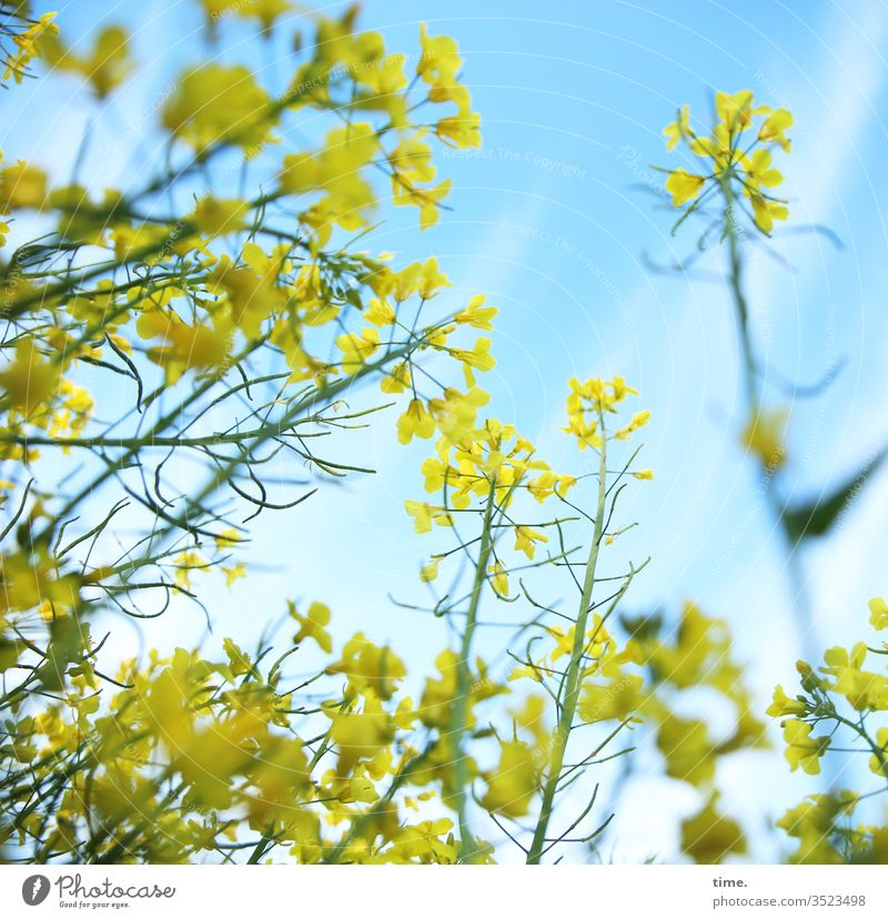 Dancer and inclined audience Canola Canola field Oilseed rape flower bleed Life living Sky Yellow Blue dance Fresh spring Airy Wild Agriculture Perspective