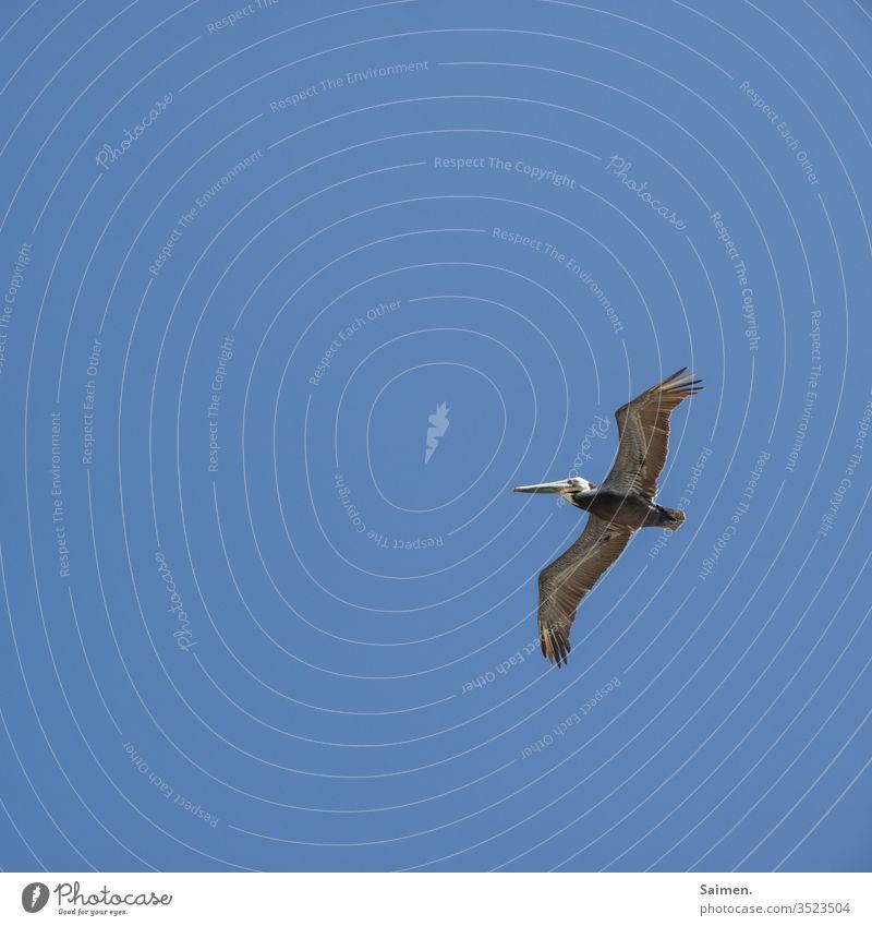 Pelikan Vogel Vögel Vogelwelt Federn Natur Tier Himmel Schwingen Lebewesen Flug blau Tierporträt himmel Amerika USA Schnabel fliegen Freiheit Leben