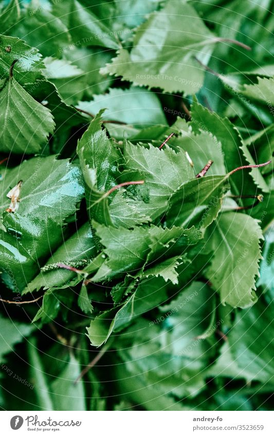 birch leaves flaked Birch tree Birch leaves green Plant Nature Exterior shot Detail