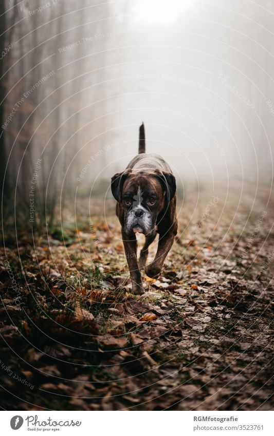 Boxer dog trots through a misty forest and looks past the camera to his owner. Dark mood, cold autumn day Dog Pet Forest Exterior shot Animal 1 Animal portrait