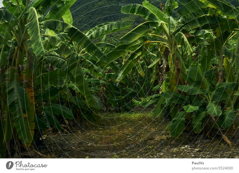 Palm forest in tropical Taiwan Banana tree Forest tropics Exotic Monoculture fauna Tainan