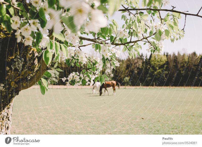 2 horses in the pasture with cherry blossom in the foreground Willow tree Nature Ride grasses Cherry tree Gray (horse) Black horse Horse Animal To feed Meadow