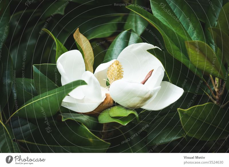 Beautiful white Magnolia Grandiflora flower among the green leaves magnolia grandiflora botanic magnolia flower garden white flower floral nature natural color