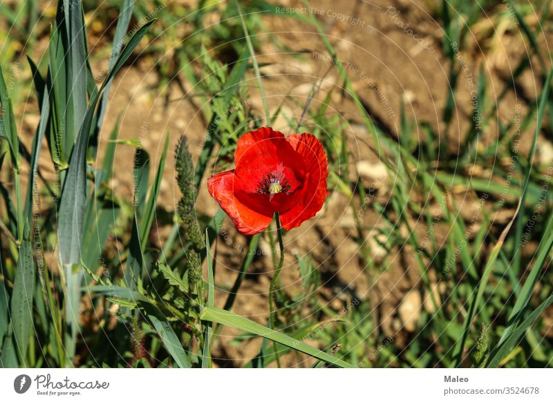 Close up of a wild poppy flower on a meadow summer field landscape nature plant season spring close red natural background beautiful beauty decorative garden
