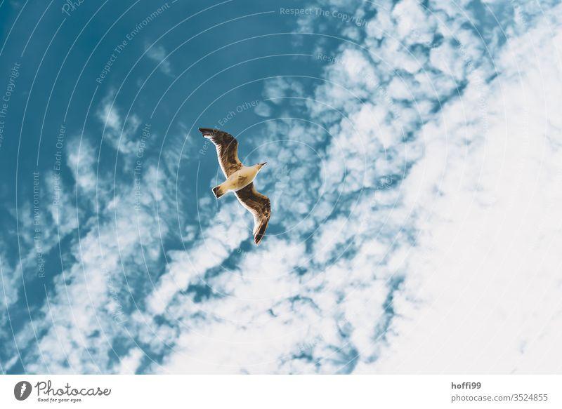 Gull in the sky Seagull Gull birds Sky Summer Grand piano Ocean Flying Black-headed gull move Freedom Blue Beach Coast Clouds Baltic Sea North Sea