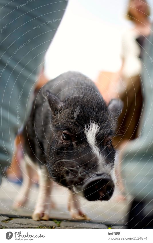 City pig - a lot is possible in Bremen Piglet Swine Stand Marketplace Places Crowd of people Animal Whimsical Sow Baby animal Animal portrait 1 Pink Snout Cute
