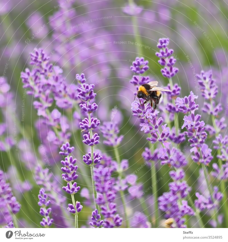 Bumblebee collecting nectar on lavender flowers Lavender lavender blossom Violet Bumble bee purple flowers Shallow depth of field no people no person blurred