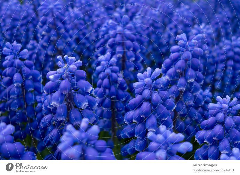 grape hyacinth blue purple blooming flowers in a garden flora armeniacum flower early spring muscari flower grape hyacinth flower grape hyacinth plant
