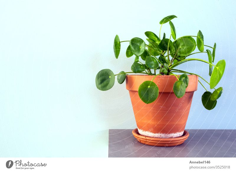 pilea peperomioides, Chinese money plant, Ufo plant or pancake plant in retro-modern design Nature green Plant Pot leaves waxing Growth Money Circle
