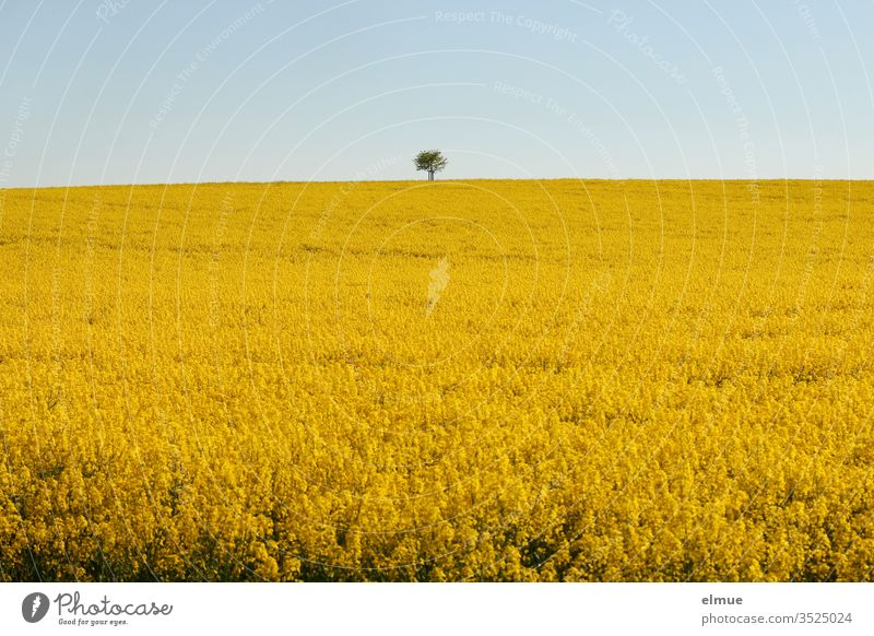 Rape field with tree on the horizon and light blue sky Canola Canola field Oilseed rape flower Yellow oil plant Sky Oilseed rape oil Blue Agriculture spring May
