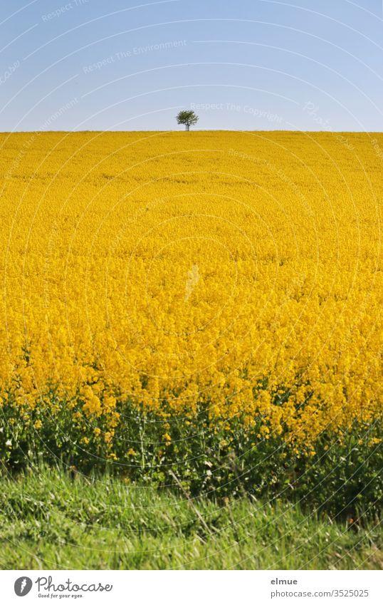 Rape field with a tree on the horizon and green terrain in the foreground Canola Canola field Oilseed rape flower Yellow Feldrain Sky Oilseed rape oil Blue