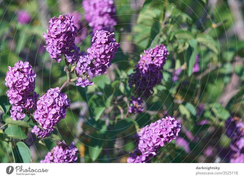 Lilac bush in full bloom lilac lilac blossom lilac blossoms purple Violet green Sun Garden detail Adornment umbels colour harmony Environment spring Season
