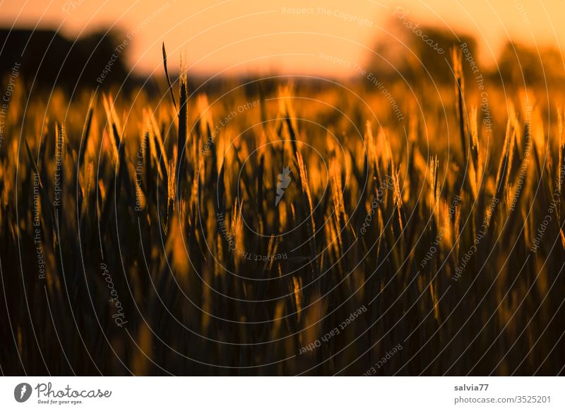 Grain field in the evening light Nature Ear of corn Agriculture Evening sun Field Cornfield Agricultural crop Summer Growth Nutrition grain Landscape Dusk Plant