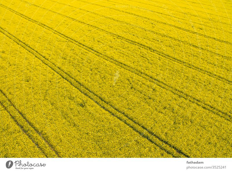 Rapeseed field from above with track lines aerial agricultural agriculture agro background bio biofuel biomass blooming cole-seed color colza colza field