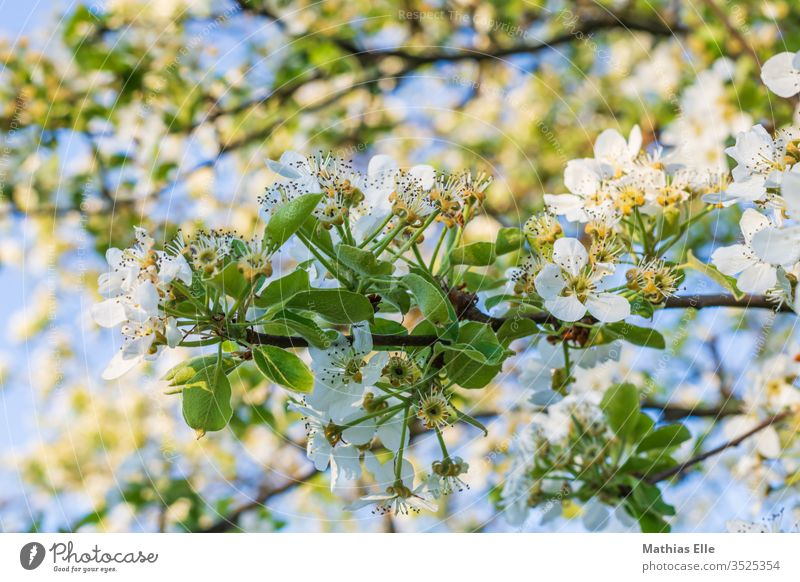 Branch with cherry blossoms Cherry blossom Plant Idyll Spring fever Exterior shot Twig Hönig collect bleed Fragrance Agricultural crop White Blossom leave