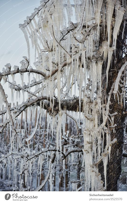 Icicle on the apple tree Frost Ice Frozen Deserted dawn Nature Exterior shot Apple tree frost protection Freeze chill Ice sheet