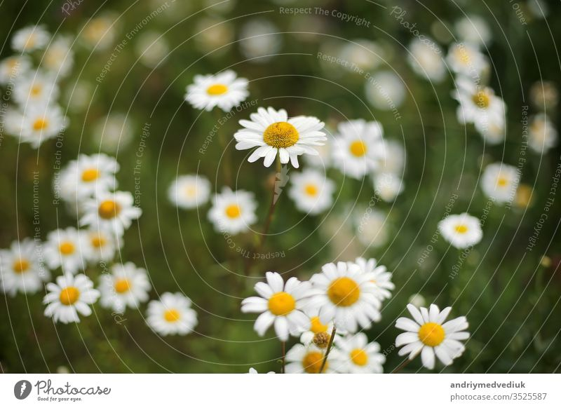 Summer camomiles in meadow. white beautifu chamomiles on the green backgroun summer background daisy beautiful sunlight natural nature field beauty yellow