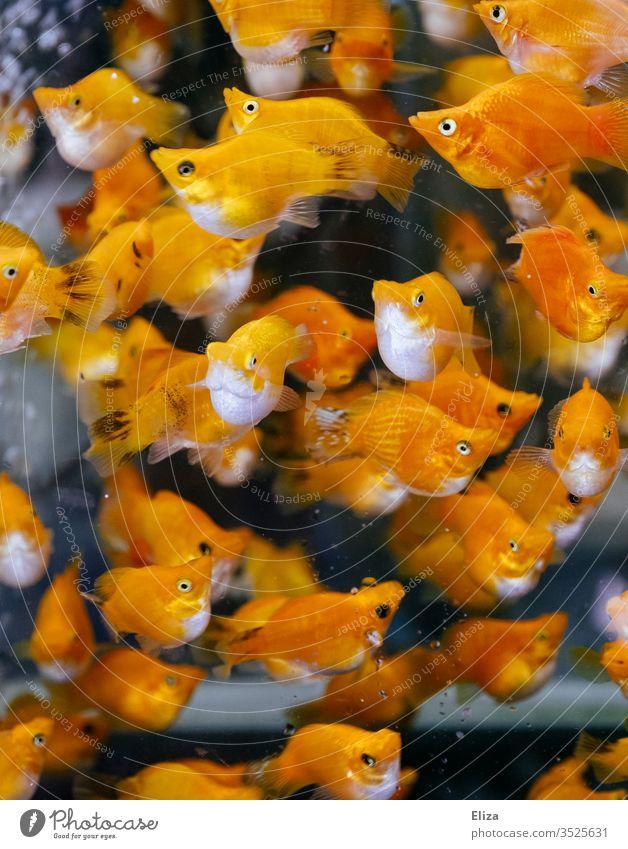 A shoal of orange fish with white bellies underwater Underwater photo Aquarium Shoal of fish Flock Water Orange luminescent Yellow Fish Ocean Animal
