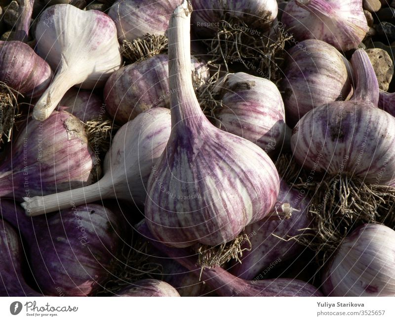 Purple garlic texture background. Fresh garlic on market table close up photo. Vitamin healthy food spice image. Spicy cooking ingredient picture. Pile of purple garlic heads.