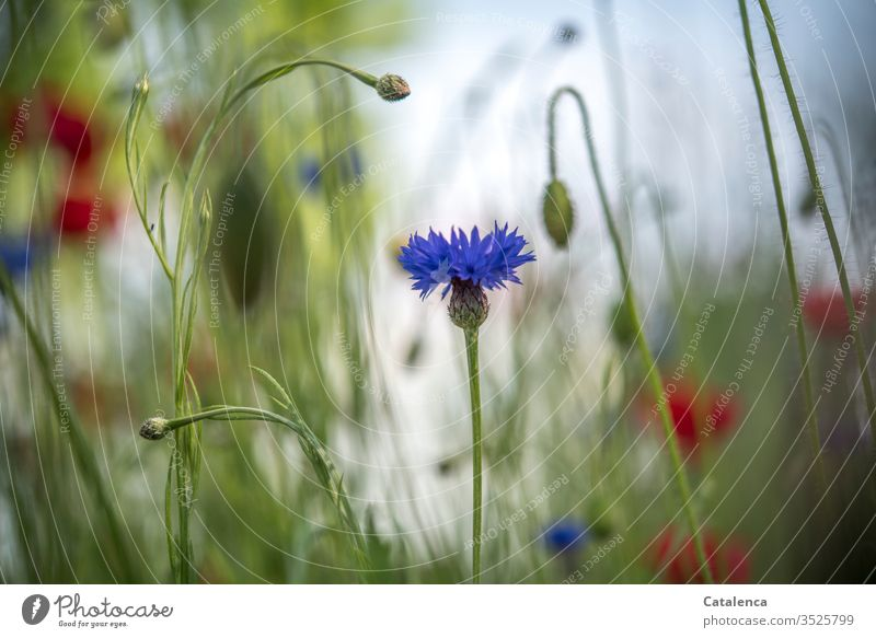The cornflower is blooming in the foreground of a wildflower meadow, corn poppy is blurring in the background wild flowers meadow flowers flora Plant bleed