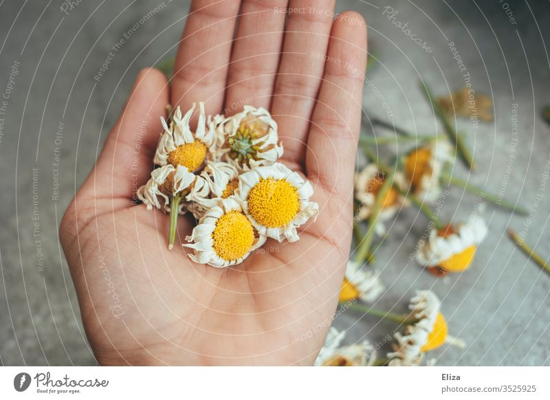 A person holding dried up withered daisies in his hand marguerites blocked Faded cut bleed flowers Garden spring Exterior shot do gardening plants