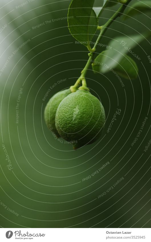 Green unripe lemon hanging from a tree branch close up shot isolated against shallow depth of field green grow farming eatable citric bokeh bright decorative