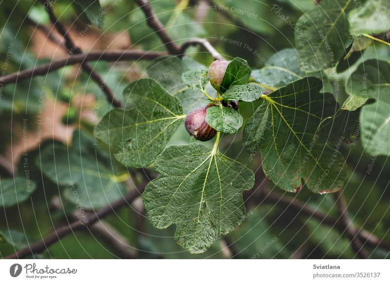 Ripe figs on a branch with leaves, closeup garden spring flower beautiful bright season flora macro outdoor blossom white agriculture background crop day farm