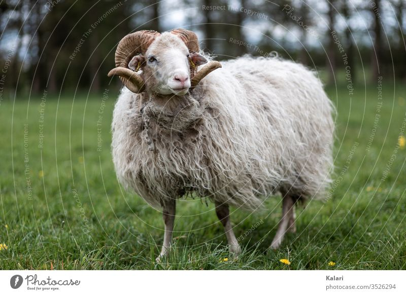 A buck of the breed white horned pagan is standing on a meadow Buck Sheep Moorland sheep Meadow heather sheep Seldom Animal Farm animal Keeping of animals