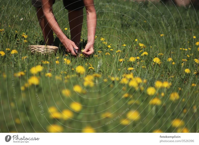 Picking wild herbs and dandelions lowen tooth dandelion meadow Wild herbs Medicinal herbs reap Meadow flower meadow herbs meadow flowers Nature bleed spring