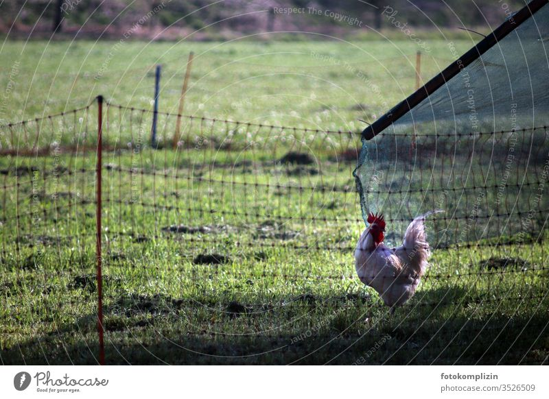 Rooster outside in the green enclosure Species-appropriate Enclosure Barn fowl Free-roaming Organic farming Farm organic livestock farming animal-friendly