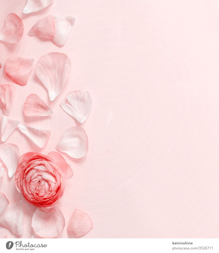 Pink ranunculus flowers and petals on a light pink background spring romantic red monochrome pastel flat lay coral red composition roses top view above concept