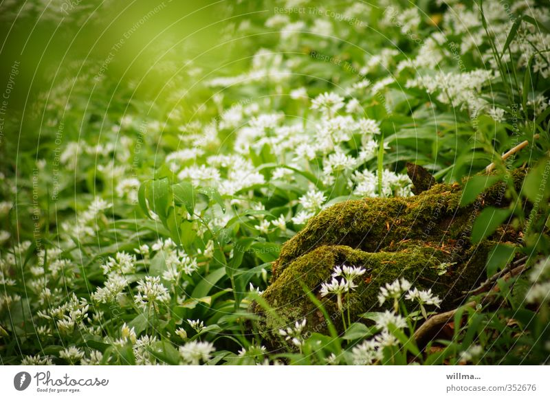 At the bosom of nature Nature Plant Moss Club moss wild garlic Meadow Forest Blossoming Green White wild vegetables moss mound Nature's breasts Colour photo